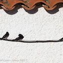 Barn Swallow; Golondrina Común