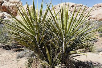 Photo: Mojave yucca (aka Spanish Dagger)
