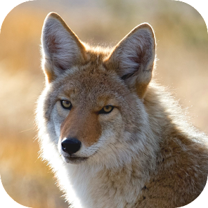 coyote wallpaper android apps on google play. Black Bedroom Furniture Sets. Home Design Ideas