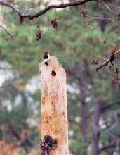 Photo: Red-headed Woodpecker at an active nest cavity in Pine City, Arkansas