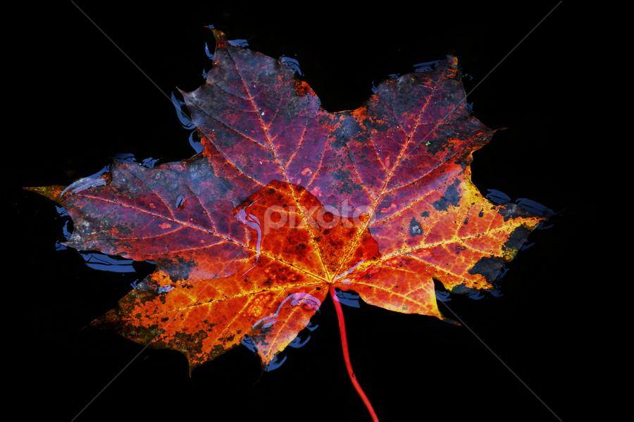 Autumn Leaf by Ad Spruijt - Nature Up Close Leaves & Grasses ( leaves, nature, fall, autumn, abscission, folliage,  )