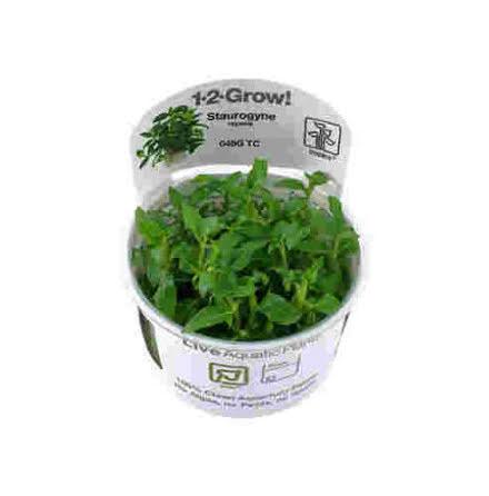Staurogyne repens 1-2-Grow