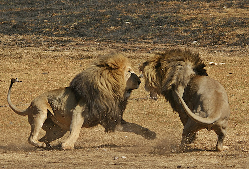The fight 1 by Charmane Baleiza - Animals Lions, Tigers & Big Cats ( lions )
