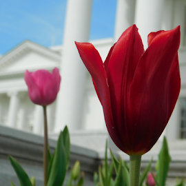 Red flower at the capitol. by TONY LOPEZ - Flowers Flower Gardens ( red, capitol, white, richmond, virginia, flower )