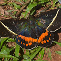 Giant Butterfly Moth