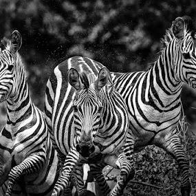 Zebras running by Ken Dyball - Animals Other ( masai mara kenya, zebra running b&w )