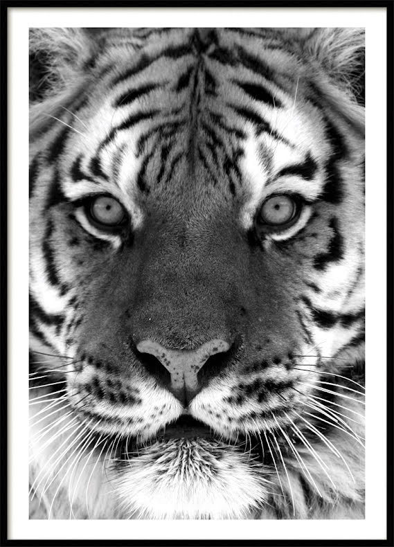 POSTER, TIGER