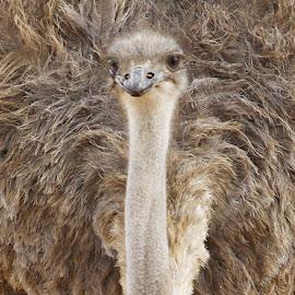 ostrich  by Kedar Banerjee - Novices Only Wildlife ( potrait, ostrich, bird, south africa, wildlife )
