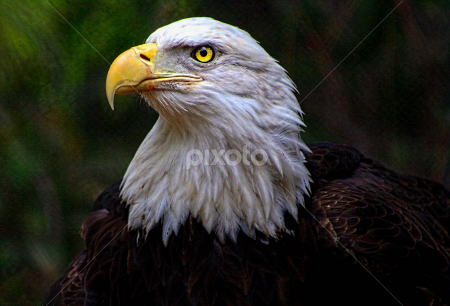 American Bald Eagle by Tom Anderson - Animals Birds ( san diego zoo, san diego, zoo, 2014, california,  )