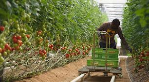un agricultor recogiendo tomates en un invernadero.