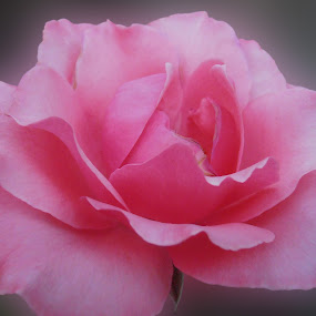 Gentle pink ... by Snezana Petrovic - Nature Up Close Flowers - 2011-2013 ( rose, gentle, pink, wonderful, soft )