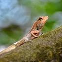 Oriental Garden Lizard ( ♂ ) / छेपारोको प्रजाती
