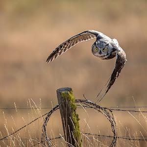 owl 8.5x11 300-3.jpg