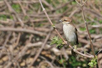 Photo: Red-backed Shrike