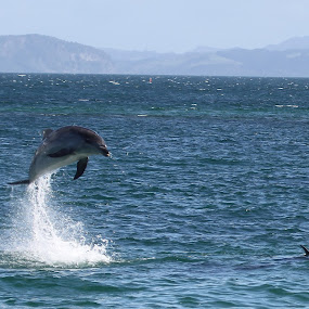 Dolphins Close to Shore by John Dutton - Animals Sea Creatures