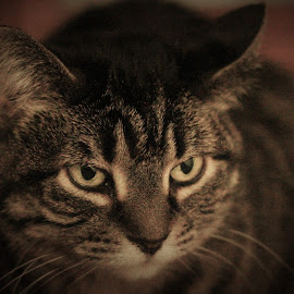 by Amy Sauer - Animals - Cats Portraits