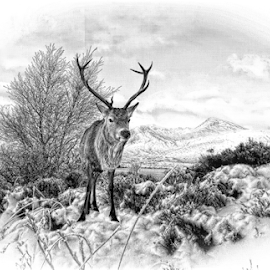 Stag in snow in pencil by John Cuthbert - Drawing All Drawing ( hill, scotland, sketch, hills, moor, munro, drawing, caingorms, mountains, red, winter, nature, snow, stag, drawing pencil, deer )