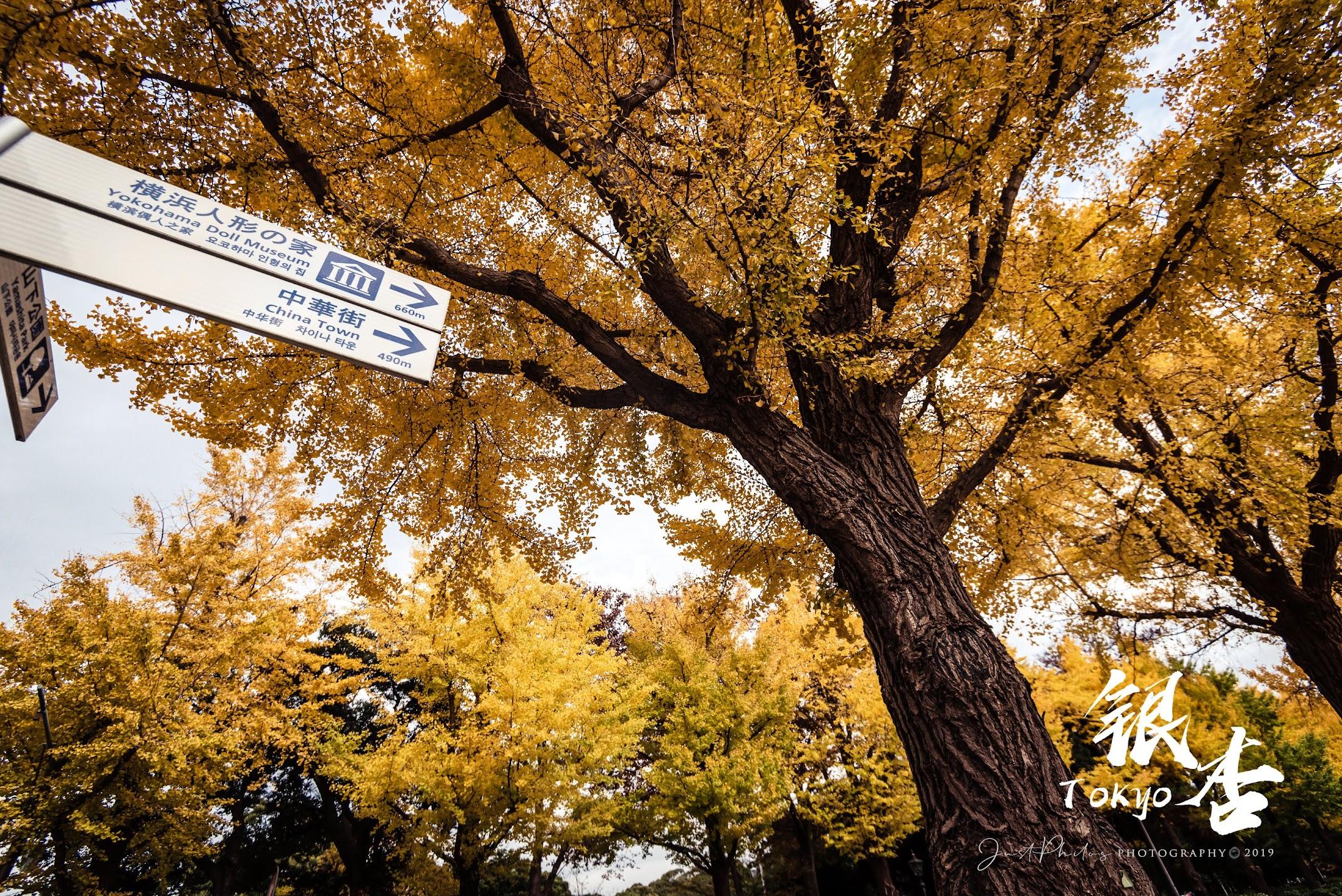 橫濱銀杏大道的兩側的銀杏樹非常壯觀。