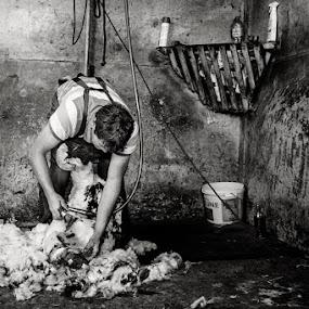 Shearing sheep by Federica Violin - Professional People Factory Workers ( irland, violin, scissors, sheep, shearing, irlanda )