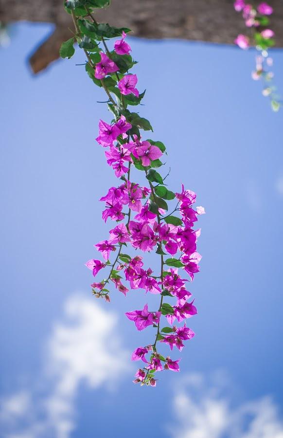 Blue sky by Tuan Pham - Flowers Flower Gardens ( sky, nice, da lat, vietnam, garden )