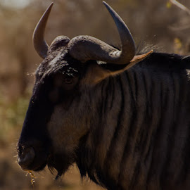 Blue Wildebeest by David Botha - Animals Other ( antelope, mammal, grass, wild, wildlife )