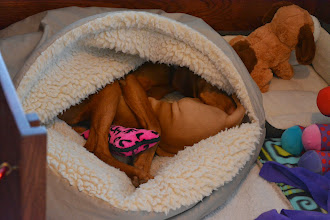 "Photo: How many Vizslas can fit into a 35"" cave bed?"