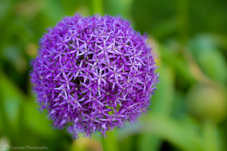 Photo: Purple Allium, Boston, MA