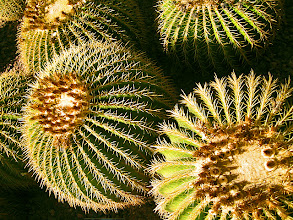 Photo: Barrel Cactus, Desert Botanical Garden