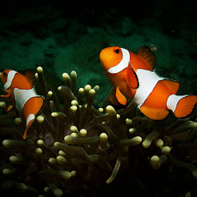 clown fish dancing by Asep Dedo - Animals Sea Creatures