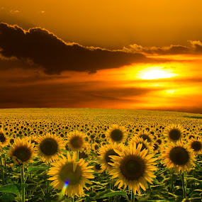 Dad Looking On by Christian Skilbeck - Landscapes Prairies, Meadows & Fields ( nature, sunset, cloudscape, sunflower, sun, flower )