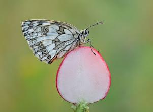 Photo: Recettes de NOUVELLE CUISINE :) Demi-Deuil, Melanargia Galathea, Marbled White  http://lepidoptera-butterflies.blogspot.com/
