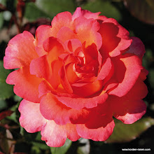 Photo: Edelrose Fairest Cape®, Züchter: W. Kordes' Söhne 2005