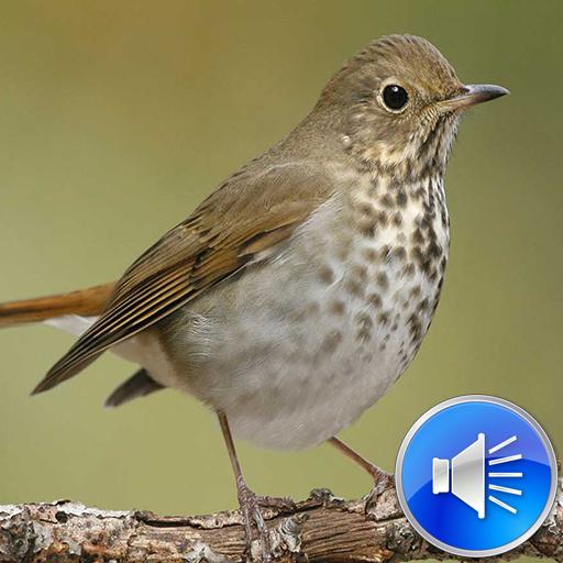 Hermit Thrush Bird Sounds