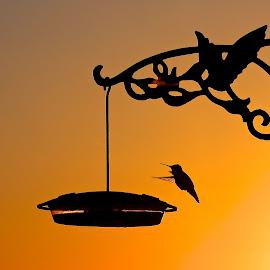 Sunrise Hummer by Campbell McCubbin - Animals Birds ( orange, sunrise, feeder, hummingbird, bird, silhouette, dawn )