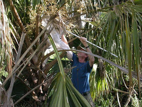 Photo: Sampling beetles asso. with a palm inflorescence.