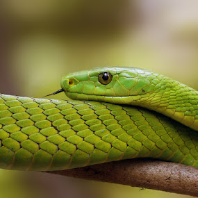 Green mamba by Sue Green - Animals Reptiles ( eastern green mamba, a deadly eye, beautiful reptile, green menace, green mamba, watching you, deadly green, sheer poison, slither, emerald snake, watching me watching you, eye 2 eye, the emerald beauty,  )