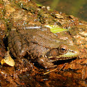 Northern Green Frog