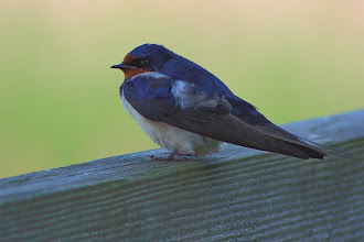 Photo: #BirdPoker Bokeh curated by +Phil Armishaw  A Barn Swallow posing in low light with a creamy smooth background.
