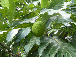 Photo: saw my 1st breadfruit tree; the breadfruit is really big like a personal sized watermelon