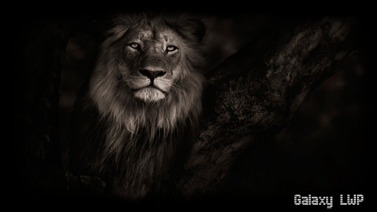 black lion pack 2 wallpaper - android apps on google play
