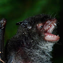 Nepalese Whiskered Bat/Wall-roosting Mouse-eared Bat