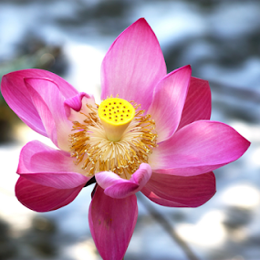 The Waterlily by Deborah Bisley - Flowers Single Flower ( pink flower, sparkling water, open flower, pink waterlily, waterlily, water flower, yellow center,  )