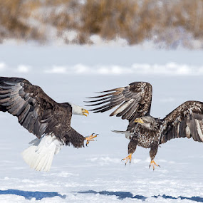 Fight is On by Jerry Alt - Animals Birds ( eagle, fight, bald, fighting, adult, juvenile )