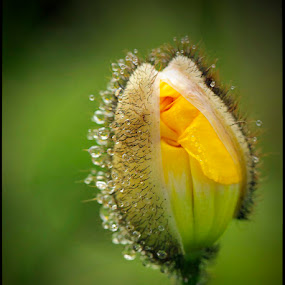 Iceland Poppy by Merna Nobile - Nature Up Close Flowers - 2011-2013 ( poppies, droplets, color yellow )