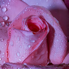 Refreshing Pink Rose by Senthil Damodaran - Nature Up Close Flowers - 2011-2013