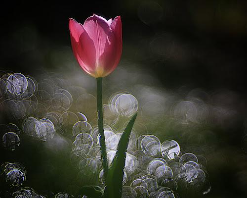 Il primo tulipano del mio giardino