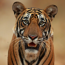 Bengal tiger by Saumitra Shukla - Animals Lions, Tigers & Big Cats ( close up, color, yellow, tiger, portrait, eyes, travel photography, wildlife photography, eye, mammal, animal, animals, travel, wild, wildlife )