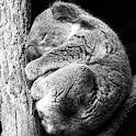 Koala Taking A Nap LWP icon