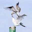 American Herring Gulls