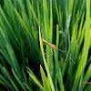 Rice Ear Bug
